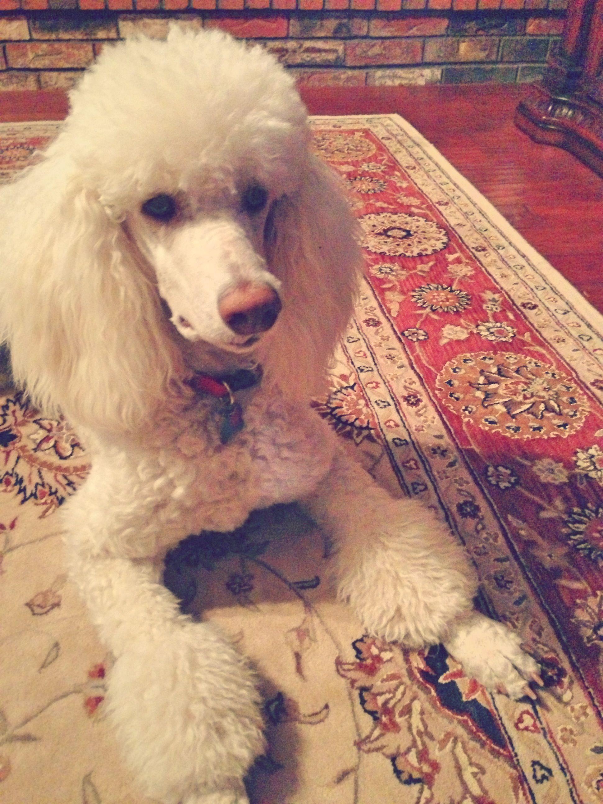 Chloe White Standard Poodle Poodle Dog Poodle Standard Poodle