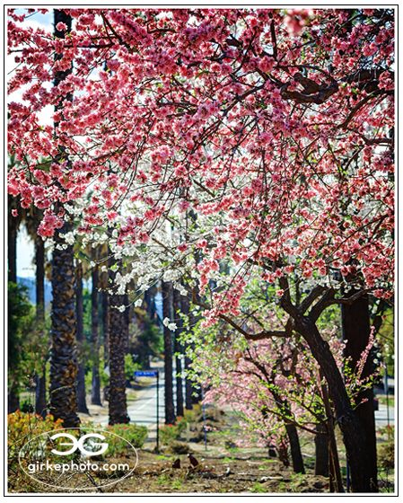 Victoria Avenue in Full Bloom by girkephoto.com