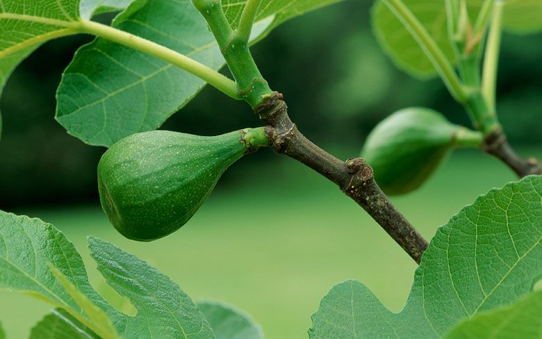 Figs In New England Fig Tree Fruit Trees Fruit Garden