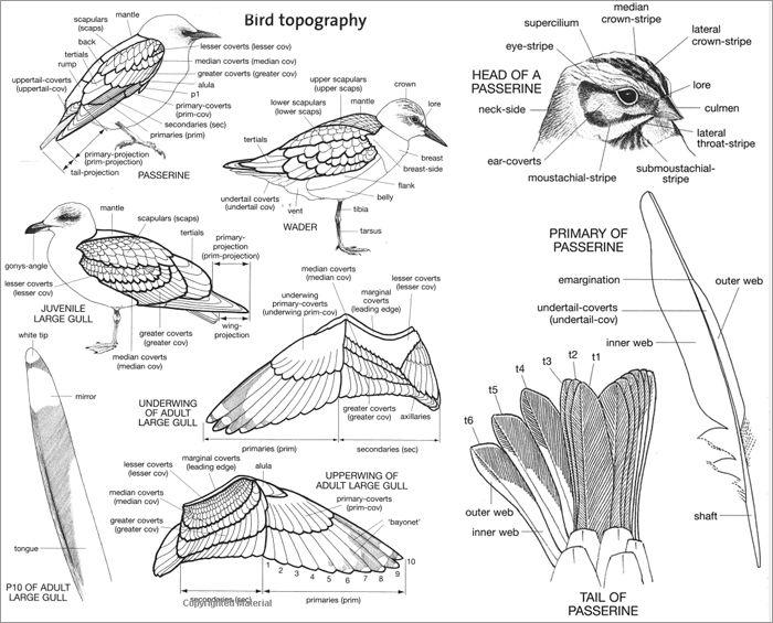 Review of Advanced Bird ID Handbook | Cute Little Animals <3 ...