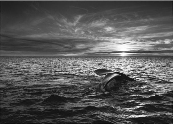 Sebastião Salgado  | Southern Right Whale (Eubalaena australis) Navigating the Golfo Nuevo, Valdes Peninsula, Argentina 2004  - Exhibitions - Peter Fetterman