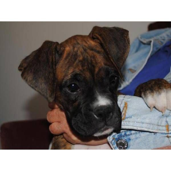 i want i want i want!!! Boxer and baby, Boxers for sale