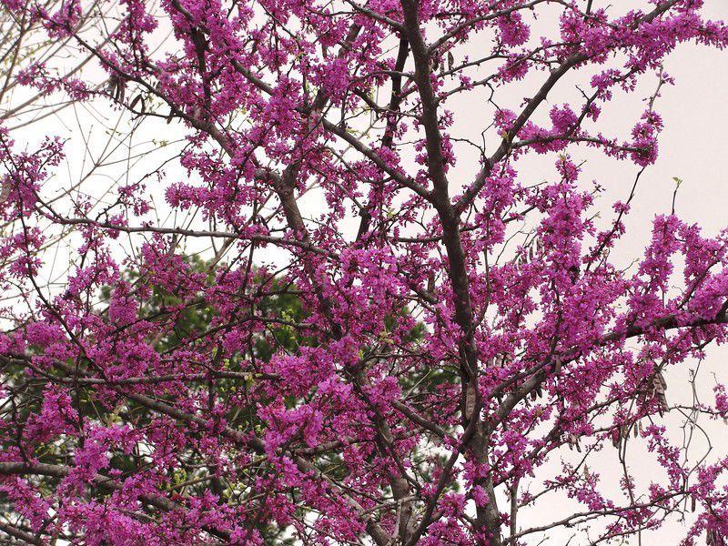 Texas Has 3 Native Varieties Of Redbud Lifestyle Tylerpaper Com Redbud Tree Eastern Redbud Tree Oklahoma Redbud