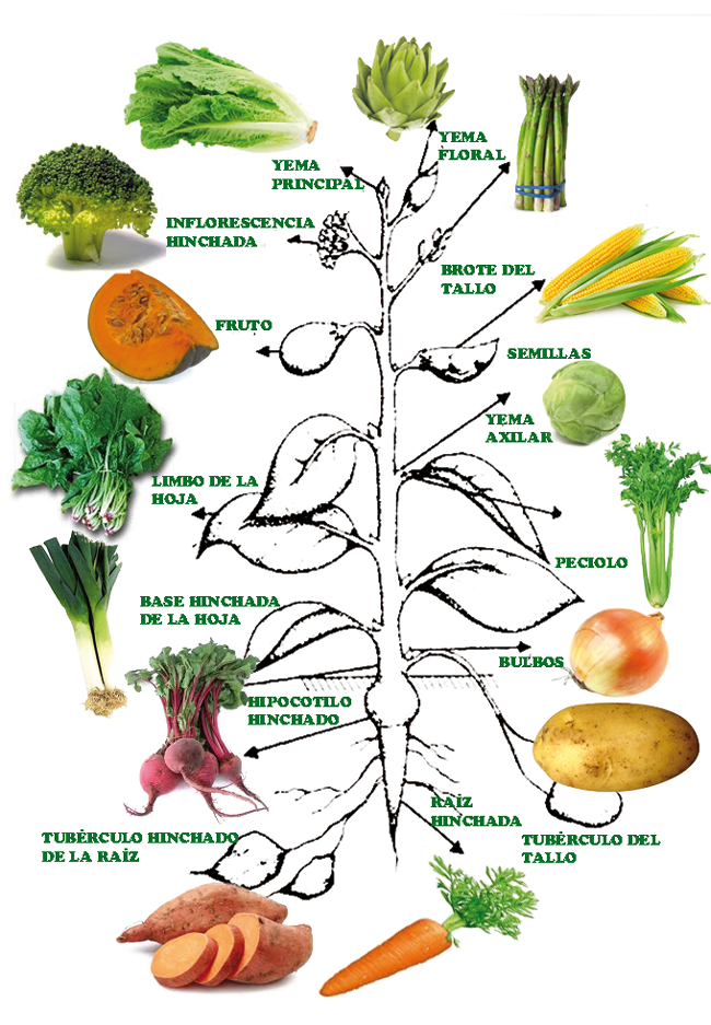 Tipos De Vegetales Buscar Con Google Hortaliza Plantas Comestibles Tipos De Plantas