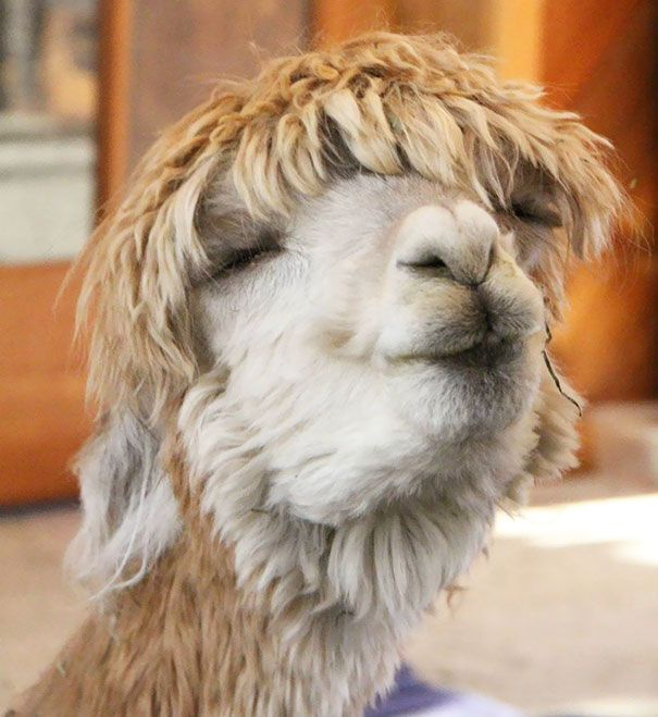 Just Sheared Alpaca I Have Had This Same Look On My Face After A - 22 hilarious alpaca hairstyles
