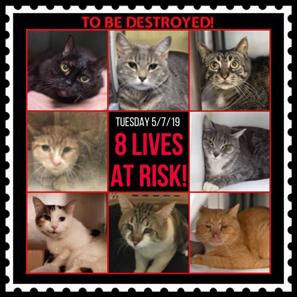 CATS TO BE DESTROYED 03/14/20 Cats, Foster cat, Cat adoption