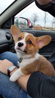 OCD: Obsessive Corgi Disorder, Corgi Puppy, Dog, Pet, Big Floppy Ears