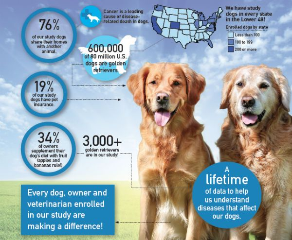 Lifetime Golden Retriever Study Is Largest Longest Effort To