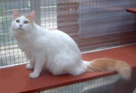 bb13804a3b cream Turkish Van Cat