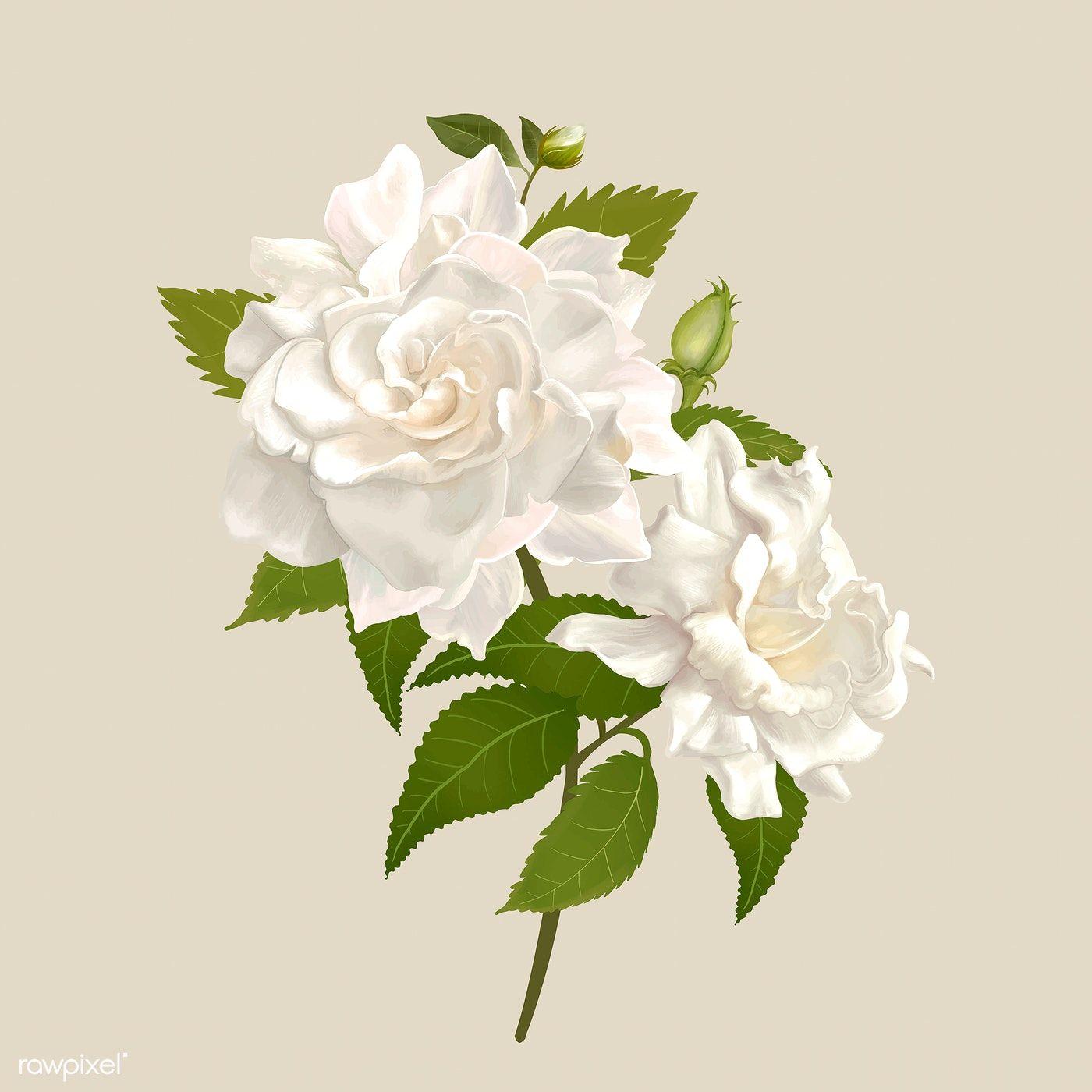 Beautiful Gardenia Flowering Plant Illustration Free Image By Rawpixel Com Plant Illustration Gardenia White Gardenia