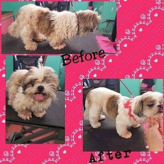 Tampa Fl Shih Tzu Meet Helen A Dog For Adoption Dog Adoption Kitten Adoption Pets
