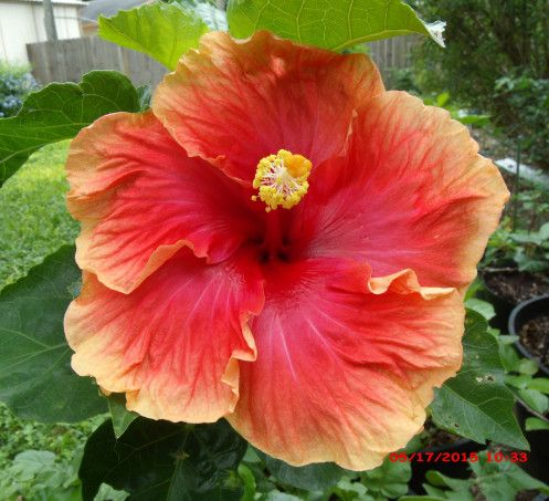Image Result For Pink Red Orange Hibiscus Flower Hibisco Plantas De Sol Plantas
