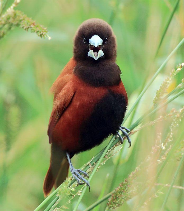 Black-headed Munia, taken at Hchfe, Hsin Chu County, TAIWAN