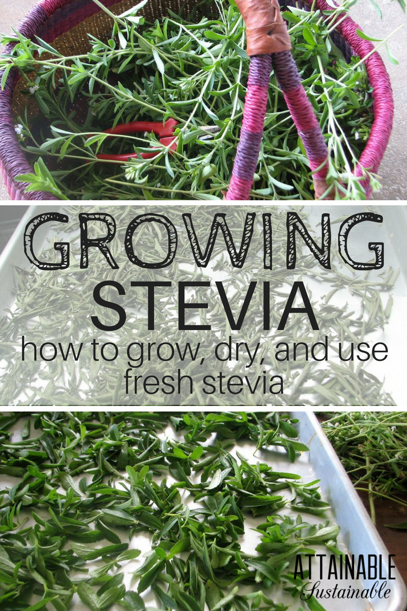 Growing Stevia How To Plant Grow And Harvest Stevia: Growing Stevia Is A Way To Produce Some Of Your Own
