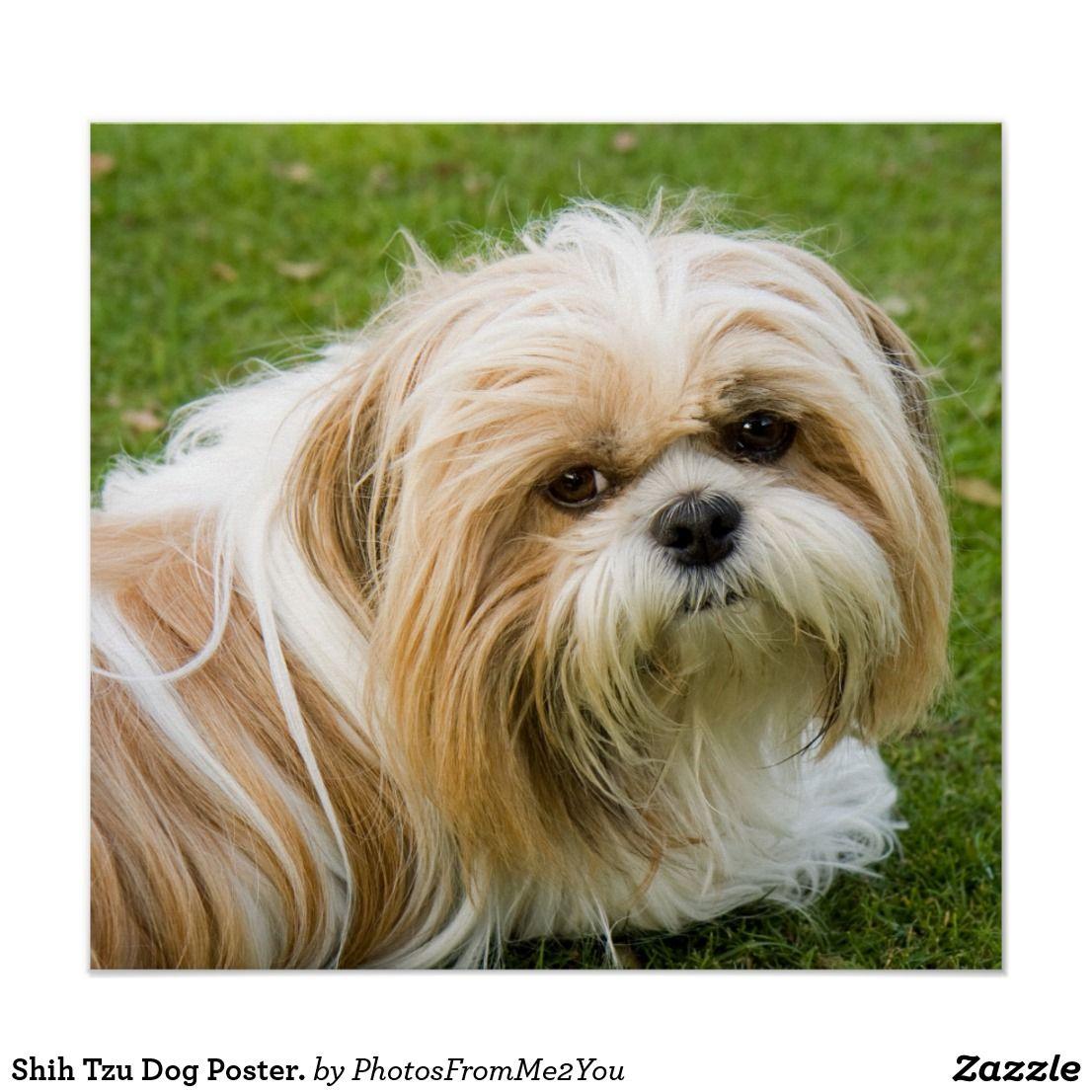 Shih tzu dogs colorado