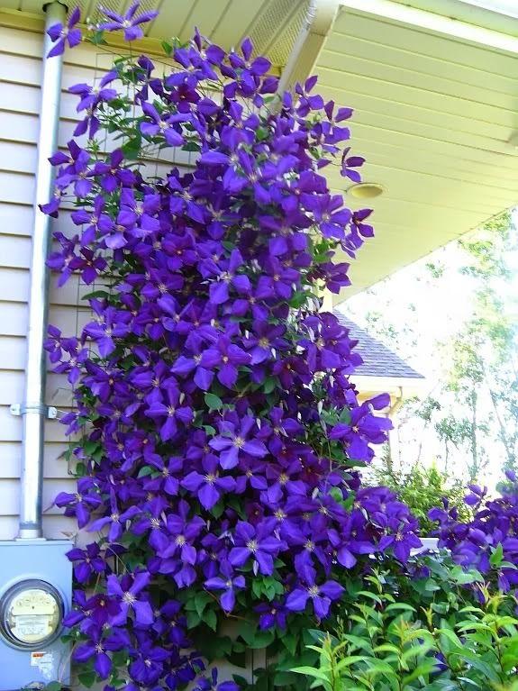 BAYINDIRÇİÇEKDİYARI: Orman Asması (clematis x jackmanii) Sarılıcı Tırmanıcı bitkiler - Sarmaşık türleri #flowerpotsoutdoor