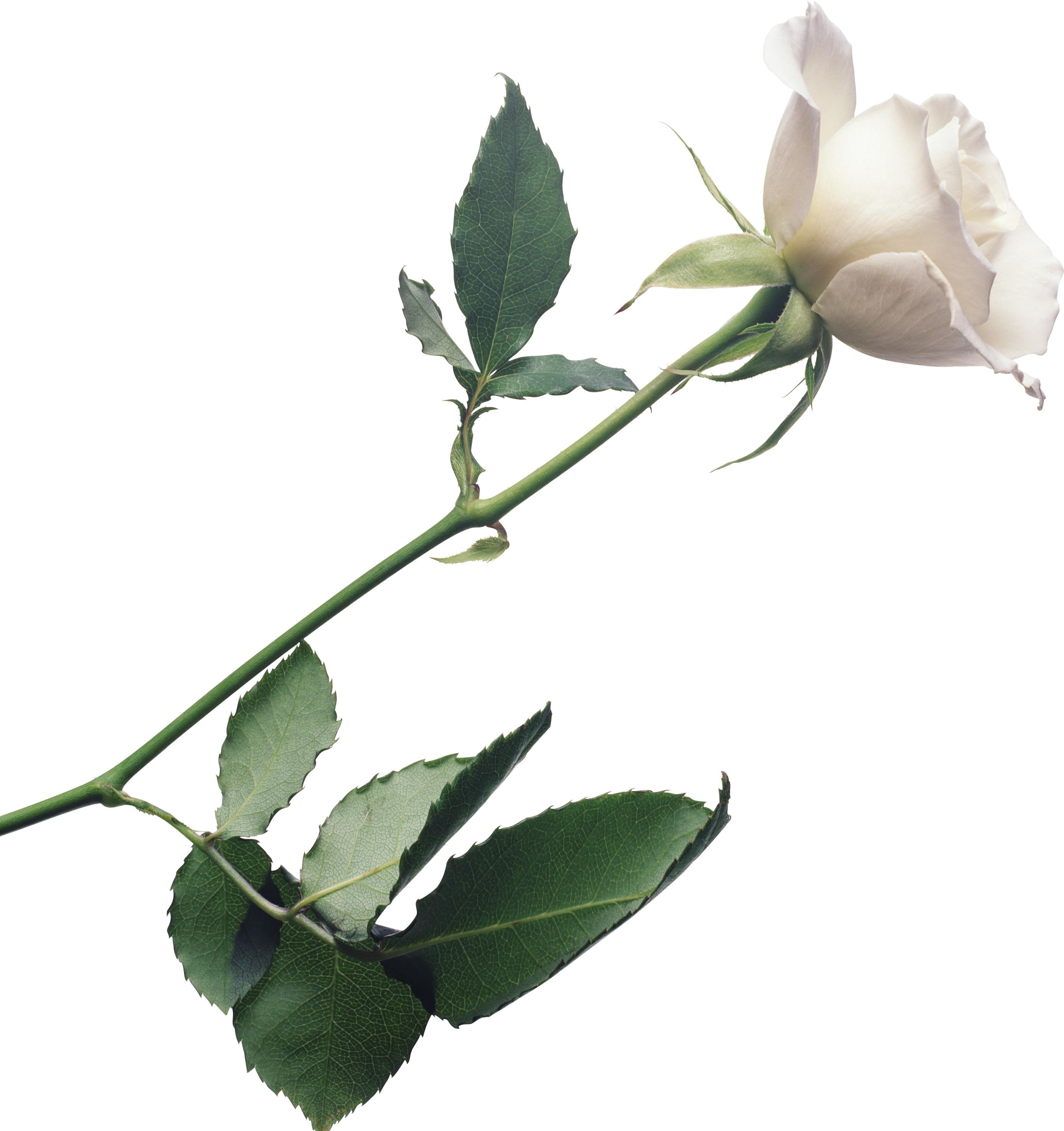 White Rose Png Image Flower White Rose Png Picture White Rose Png White Roses Background White Roses