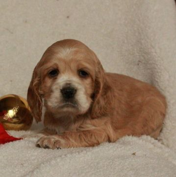 Cocker SpanielPoodle (Miniature) Mix puppy for sale in
