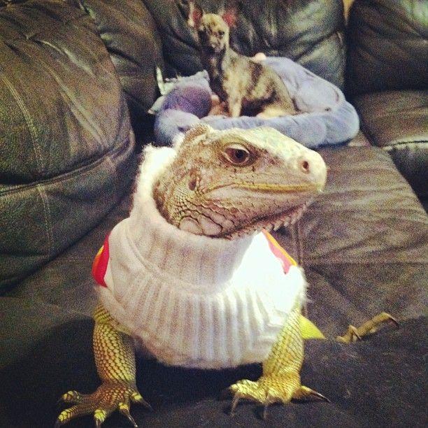 Yes I Did It I Put Clothes On The Iguana Iguana Pet Animals