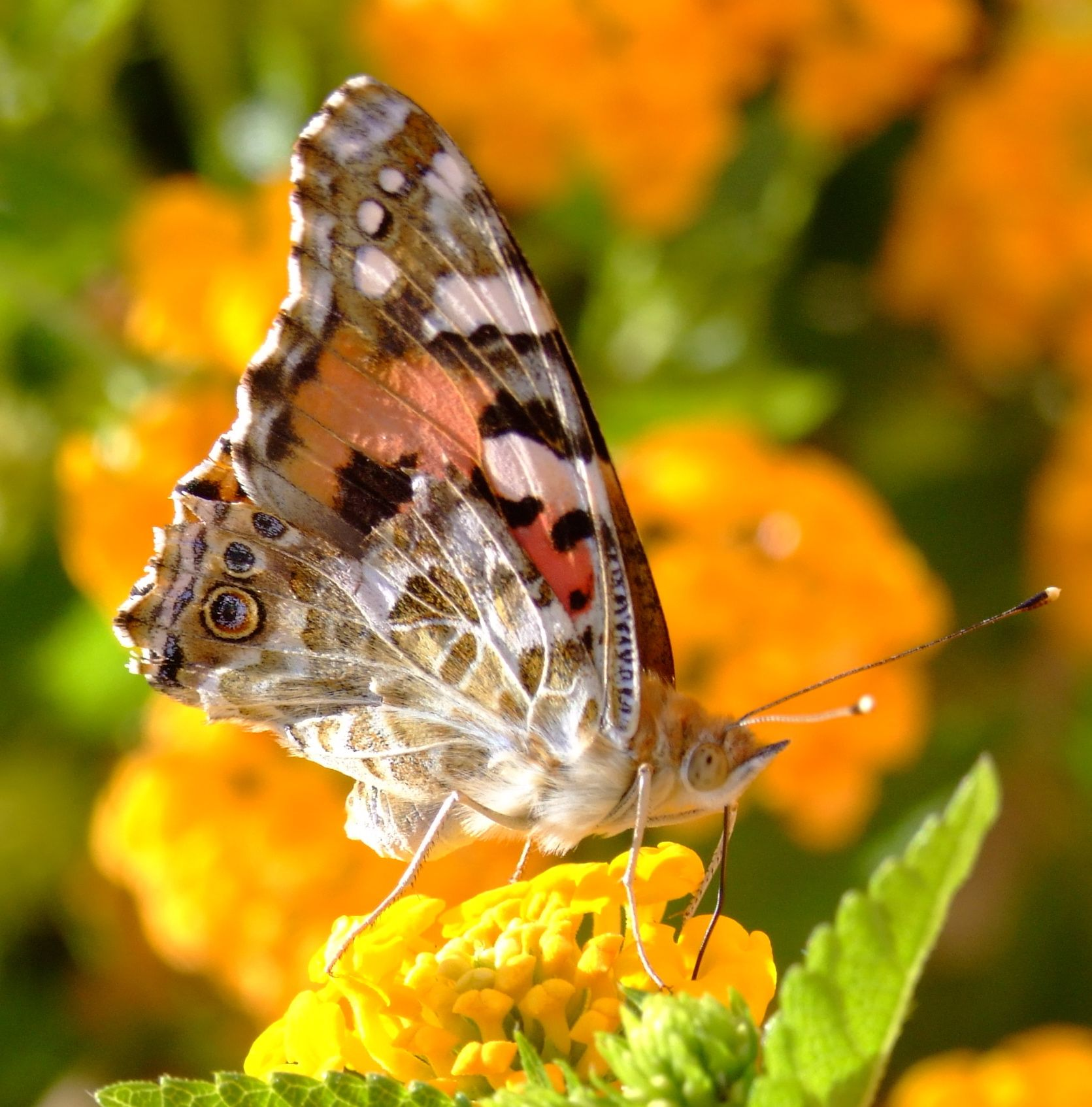 Pictures of butterflies full resolution 1671 1694 pixels butterfly buycottarizona