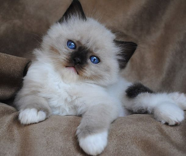 Snowshoe Siamese Kittens Cute Cats Pictures Kittens Cutest Ragdoll Kitten Ragdoll Cat