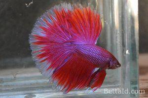 Ikan Cupang Halfmoon Lavender Hm30 Warna Dominan Merah Kondisi Ikan Sehat Sirip Ikan Balance Tubuh Proporsional Dan Bermental Bagus Ikan Cupang Betta Ikan