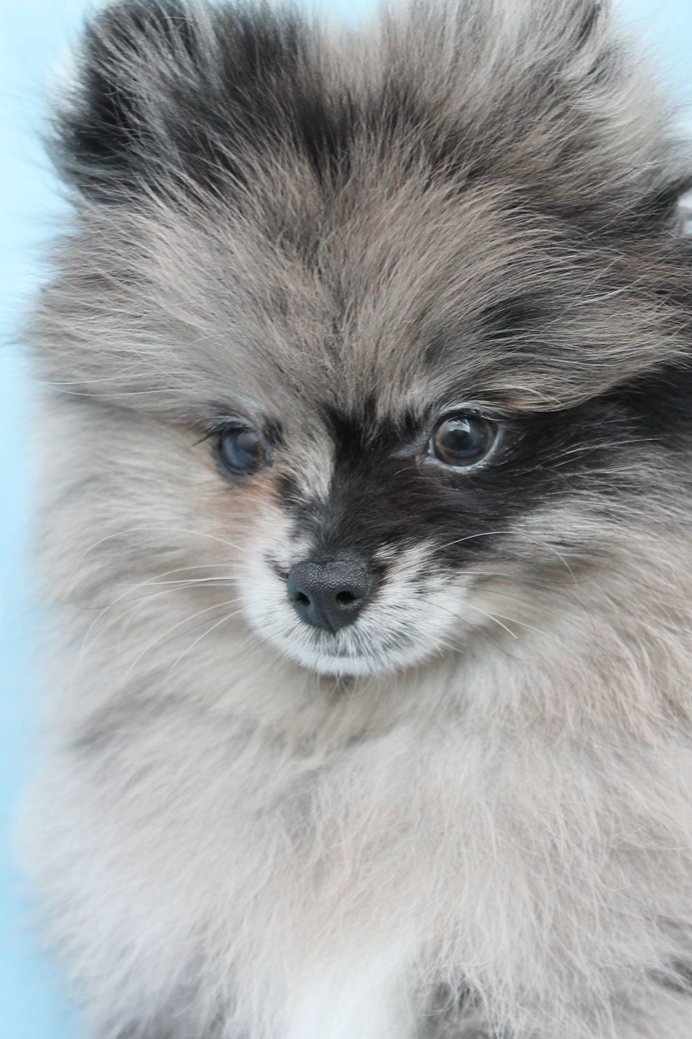 Pomeranian Puppies and Teacup Pomeranians For Sale at