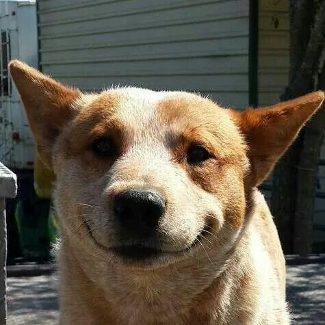 Bean Smiling Love This Boy Austrailian Cattle Dog Cattle Dogs Rule Aussie Cattle Dog