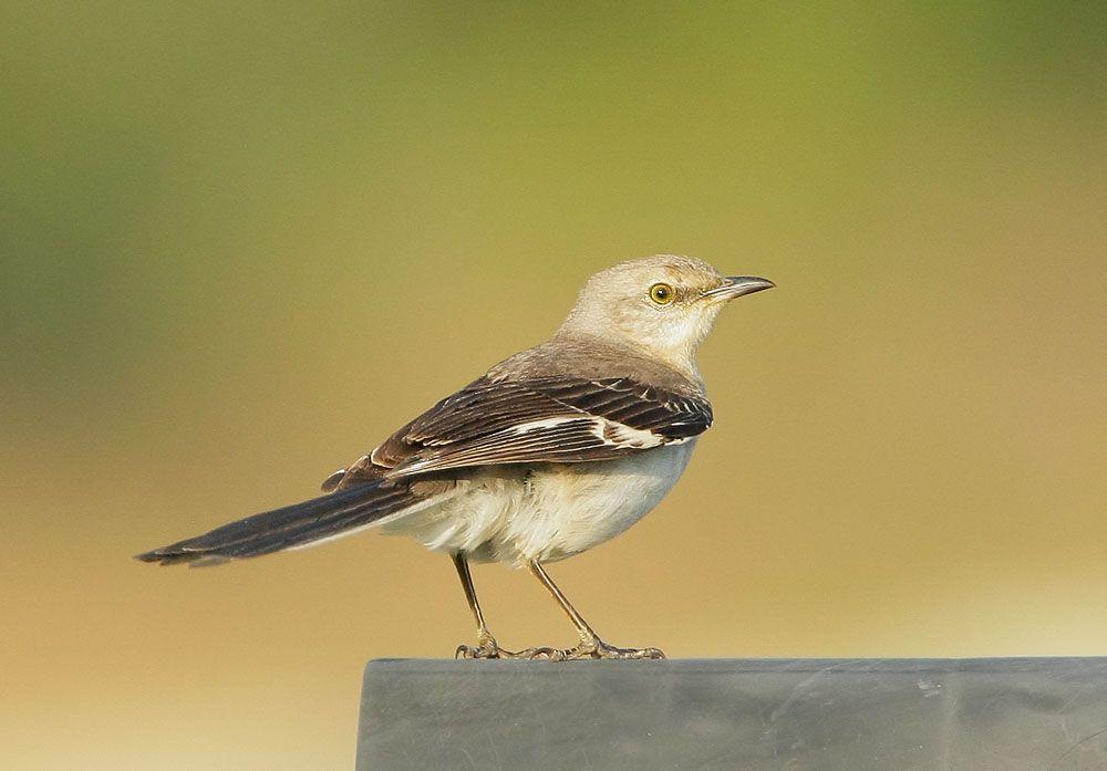Florida State Bird Mockingbird   Florida   Florida, Birds