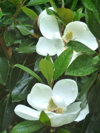 There Is Nothing More Southern Than A Magnolia Smelling Flowers Magnolia Trees Southern Magnolia