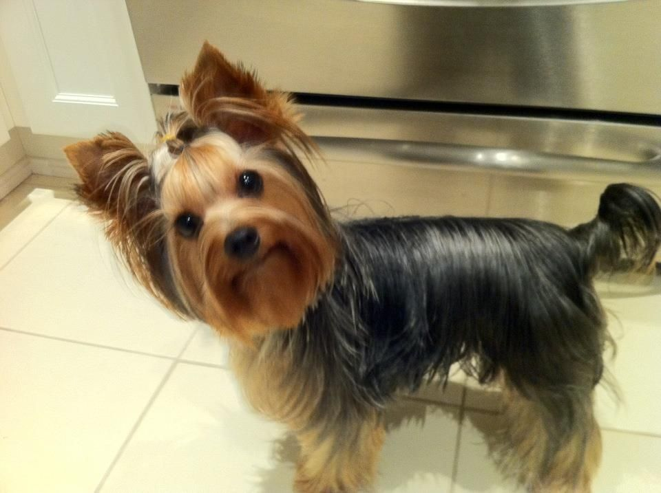 What Mommy Lol I Love Animals Specially Yorkies Pinterest