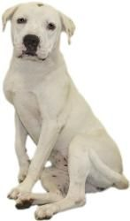TANNER...352-746-8400 is an #adoptable American Bulldog Dog in #Inverness, #FLORIDA.  Our small adoption fee includes: spay/neuter, vaccinations, microchip, worming, flea pill, blood test,  and free obedien...