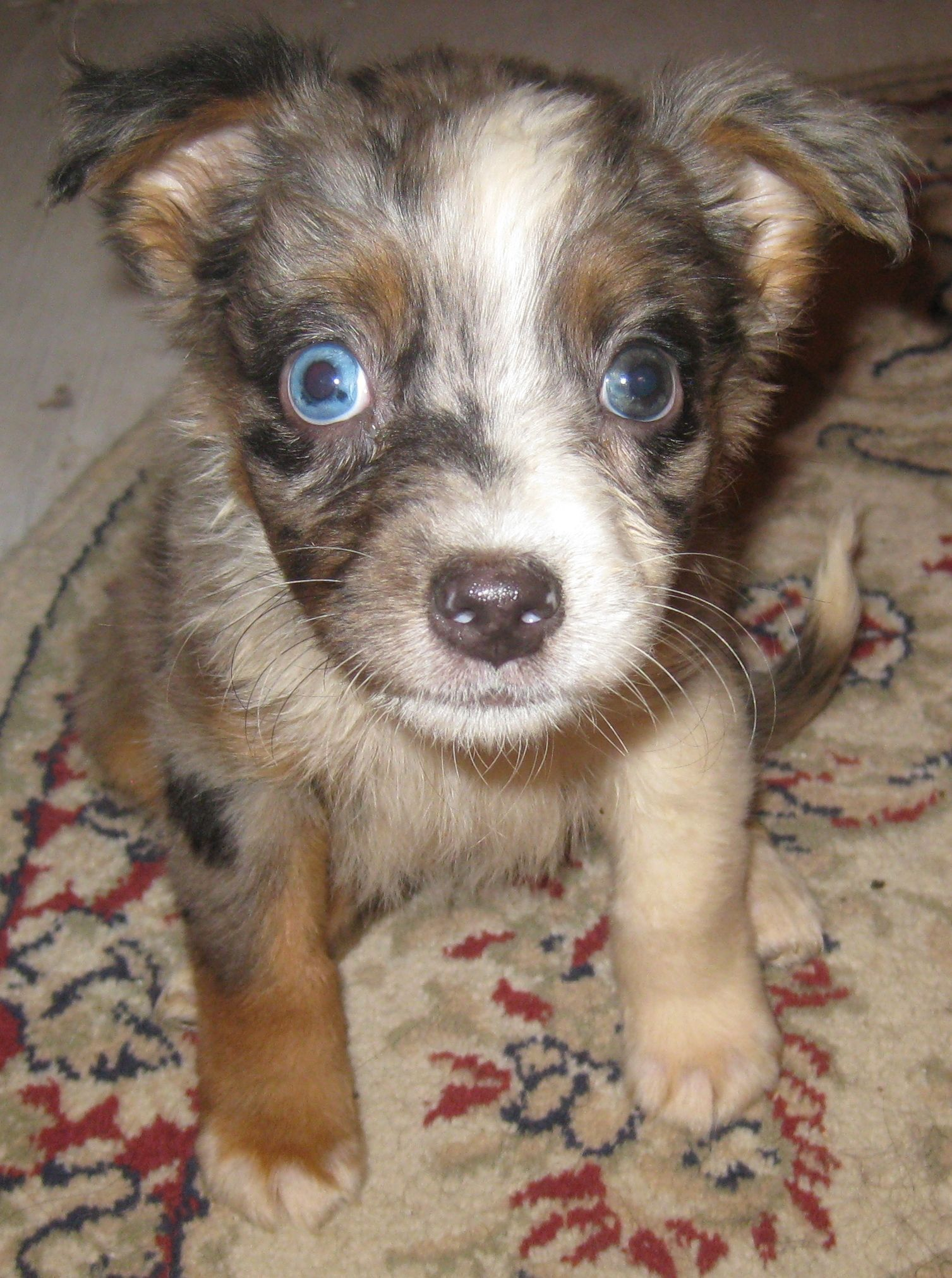 Pin By Aussie Rescue Midwest On Adopted Aussies Australian Shepherd Blue Merle Australian Shepherd Puppy Shepherd Puppies