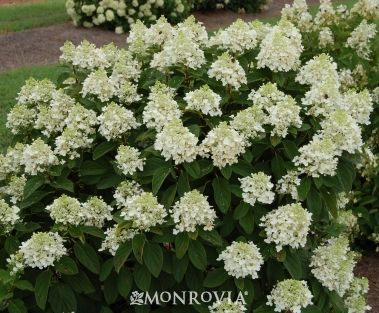 Monrovia S Baby Lace Hydrangea Details And Information Learn More About Monrovia Plants And Best Hydrangea Monrovia Planting Hydrangeas Hydrangea Paniculata
