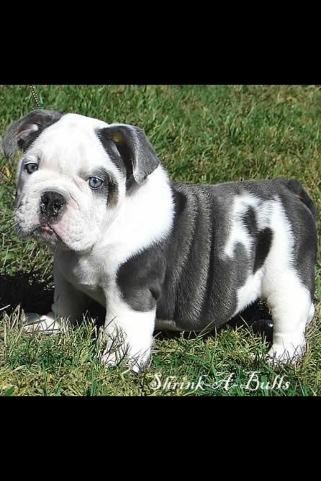 Oh My God Cuteness Cute Animals Blue English Bulldogs Baby Dogs
