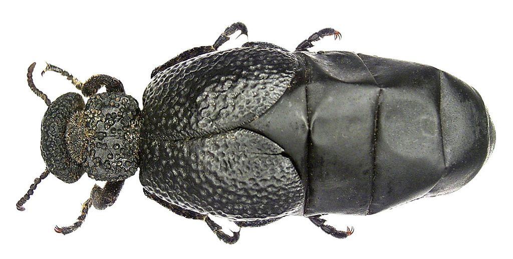 Family: Meloidae Size: 14-31 mm Distribution: Central Europe, Eastern Europe, North Africa, Southwest Asia Location: Spain, Andalusia, Cadiz, Algeciras leg H.J.Mager, 1971, det. U.Schmidt Photo: U.Schmidt, 2005