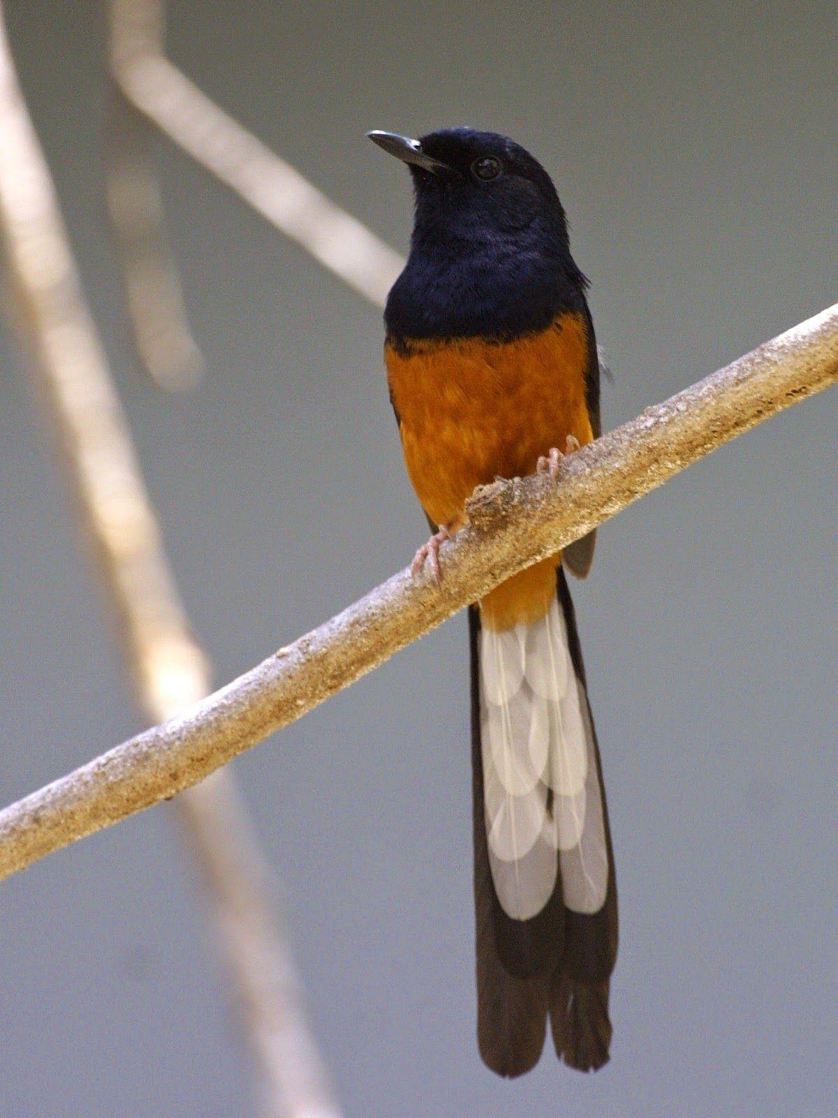 Kisaran Harga Burung Murai Tahun 2015 Burung Master Burung Murai Burung Cantik