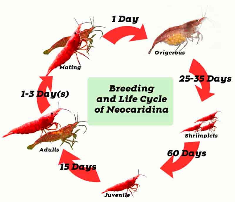 Breeding And Life Cycle Of Red Cherry Shrimp Shrimp And Snail Breeder In 2020 Cherry Shrimp Red Cherry Shrimp Freshwater Aquarium Shrimp