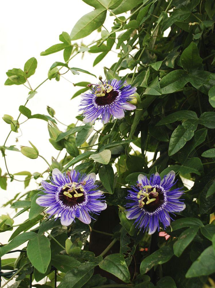 Kletterpflanze Immergrün als kletterpflanze wählen sie die blühende passionsblume garden