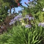 Non Blooming Agapanthus Plants Reasons For Agapanthus Not Flowering Plants Lily Plants Agapanthus Plant