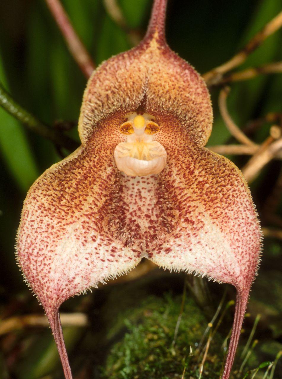 Dracula sibundoyensis orchid flores exoticas pinterest dracula