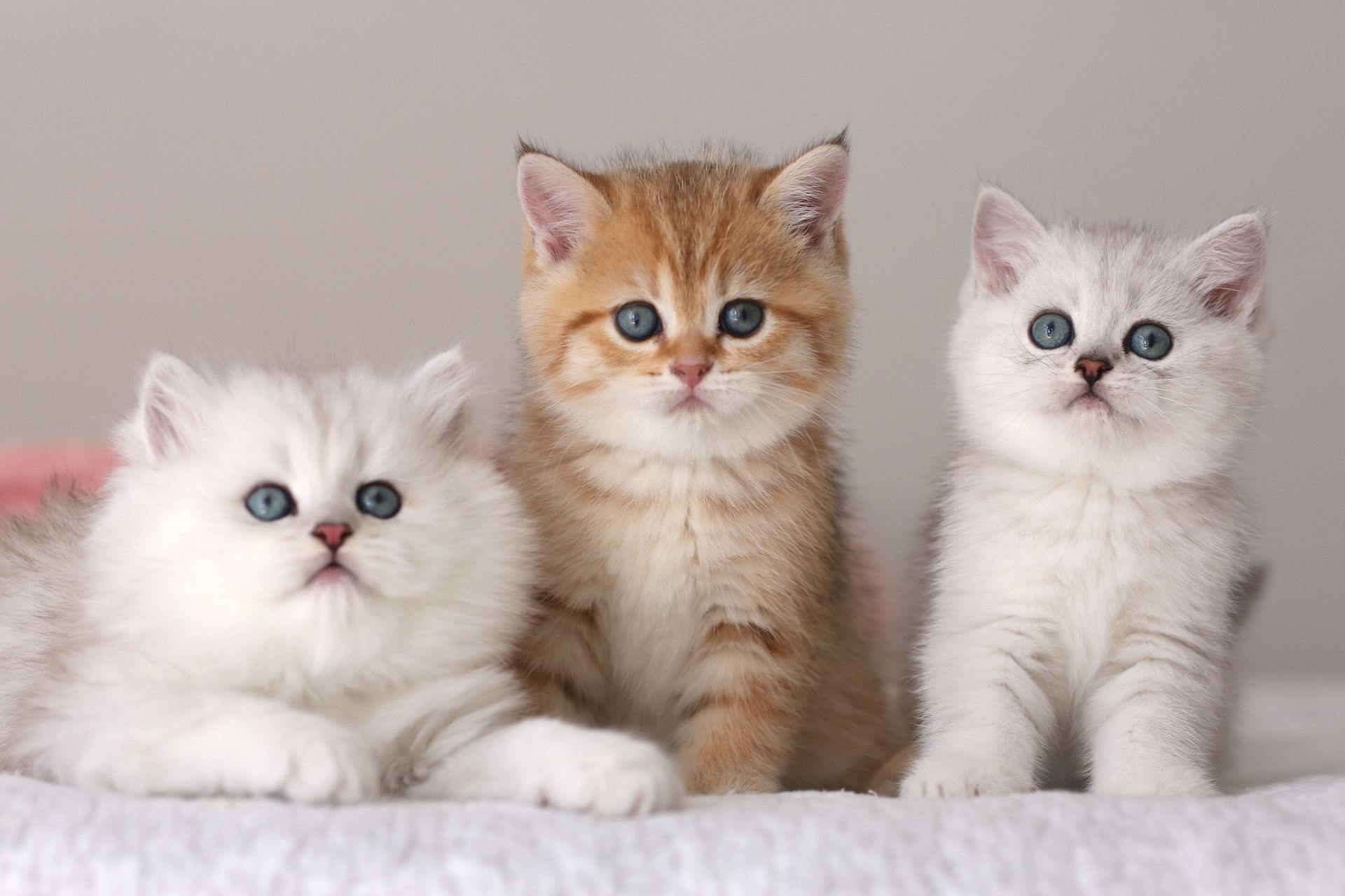 British Shorthair And Longhair Kittens For Sale In Usa Www Britishcattery Com British Shorthair Kittens Cattery Kittens