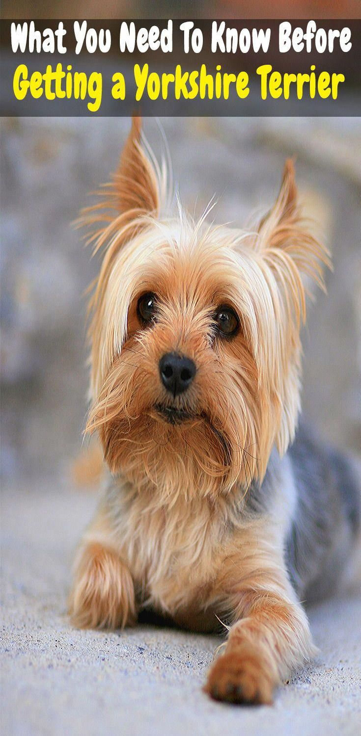"""Obtain terrific suggestions on """"Yorkshire Terriers"""". They"""