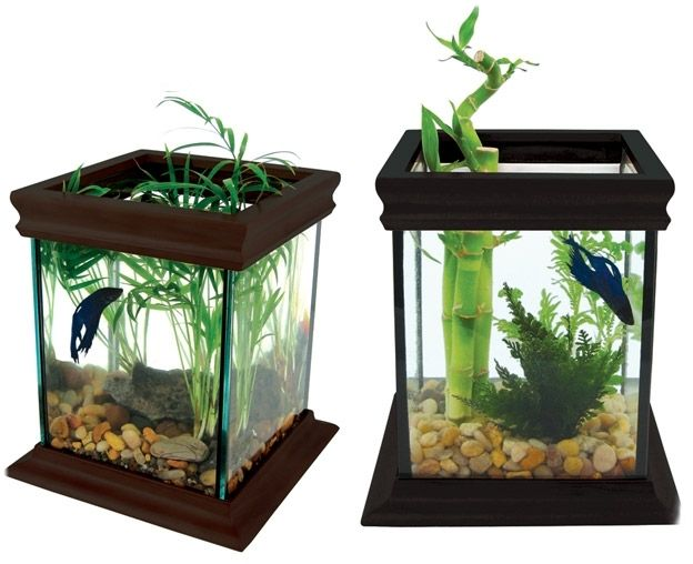 Betta Fish Tanks With Bamboo Jpg 624 508