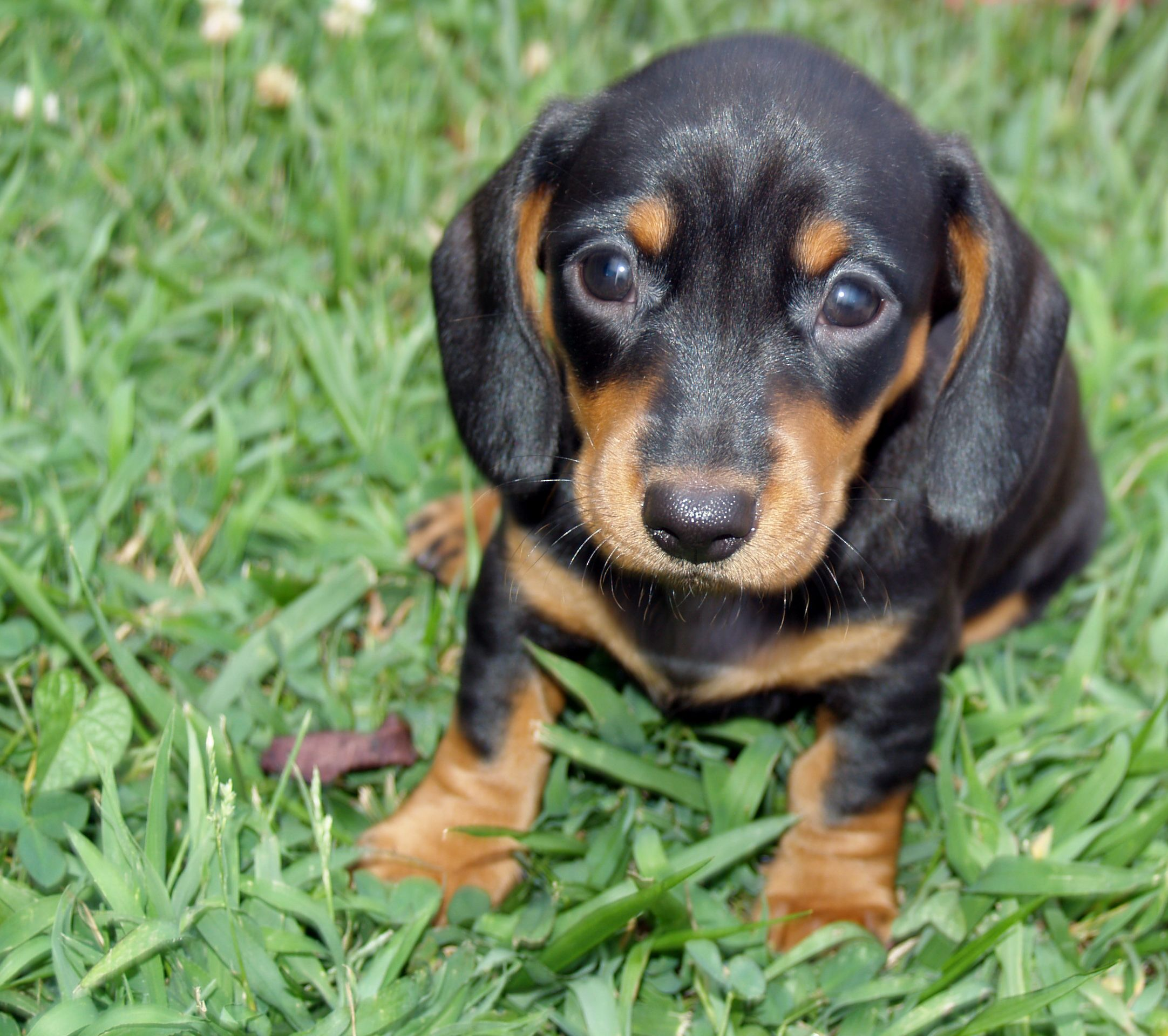 6 Weeks Old Betty Smooth Black Tan Dachshund Daschund