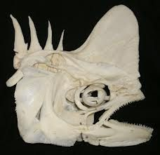 Wolf Fish | odd & unusual | Pinterest | Wolf, Skull anatomy and ...