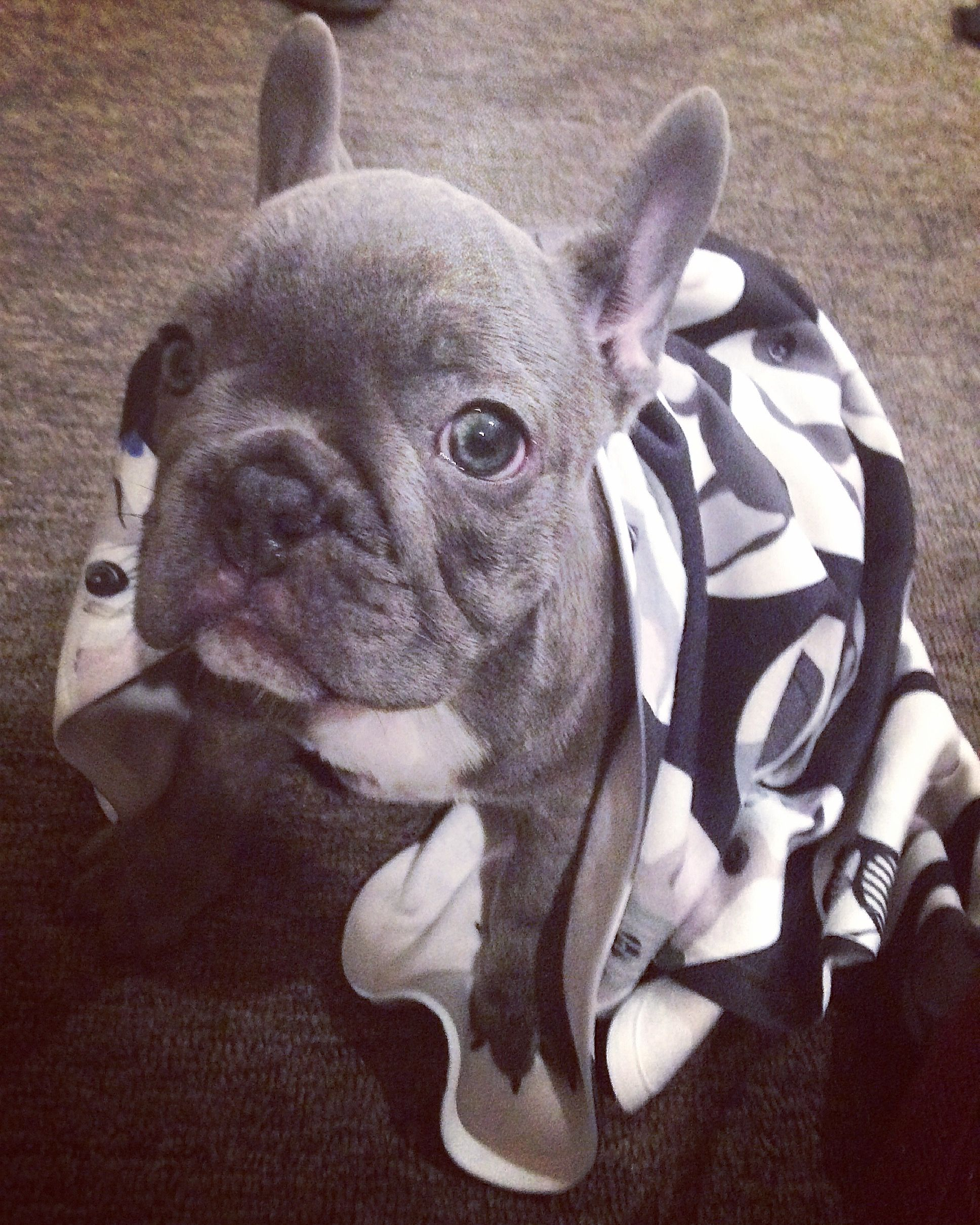 Blue French Bulldog Puppy Brindle French Bulldog French Bulldog White French Bulldog Puppies