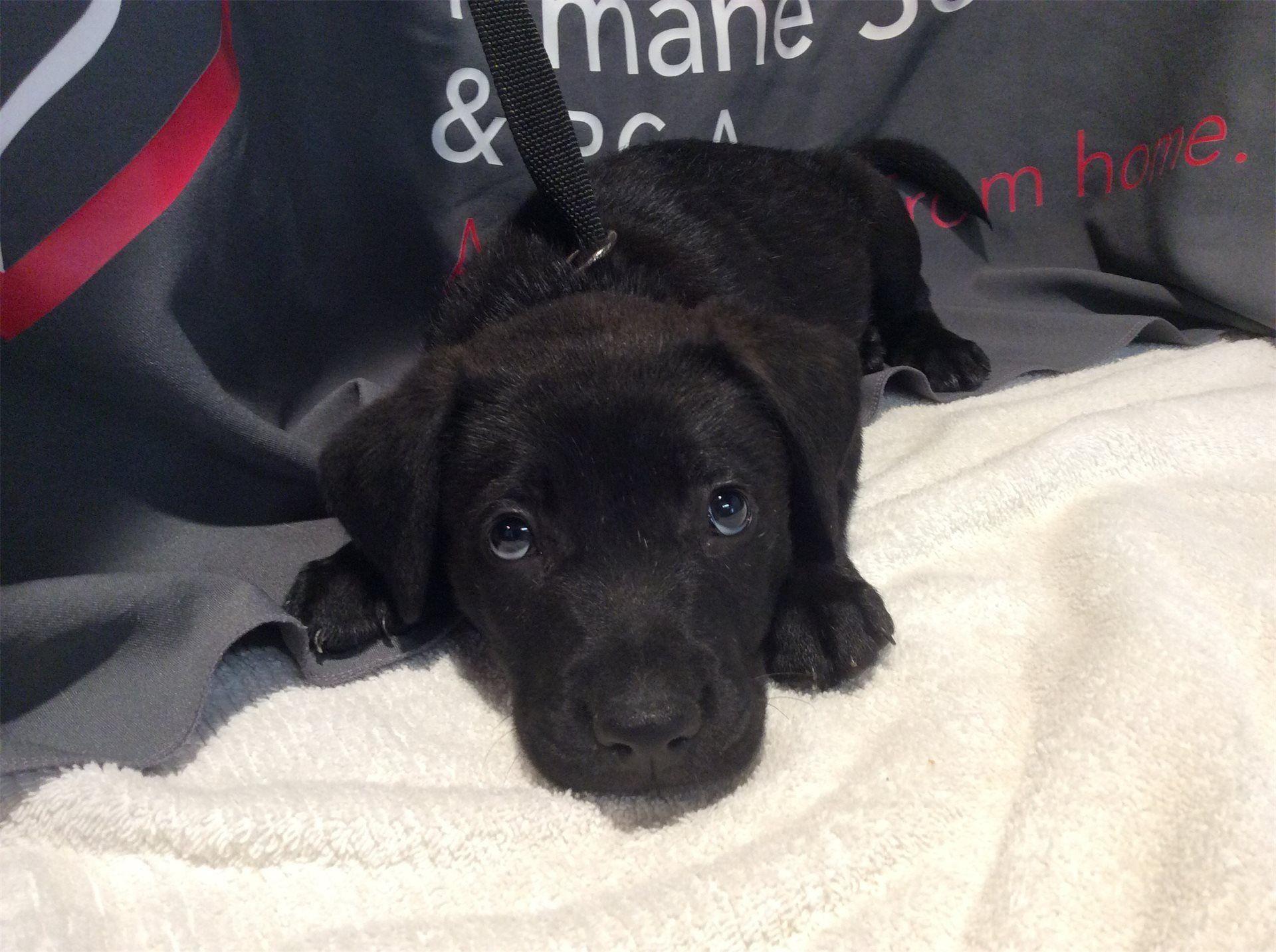 Labrador Retriever Dog For Adoption In Pomona Ca Adn 566503 On