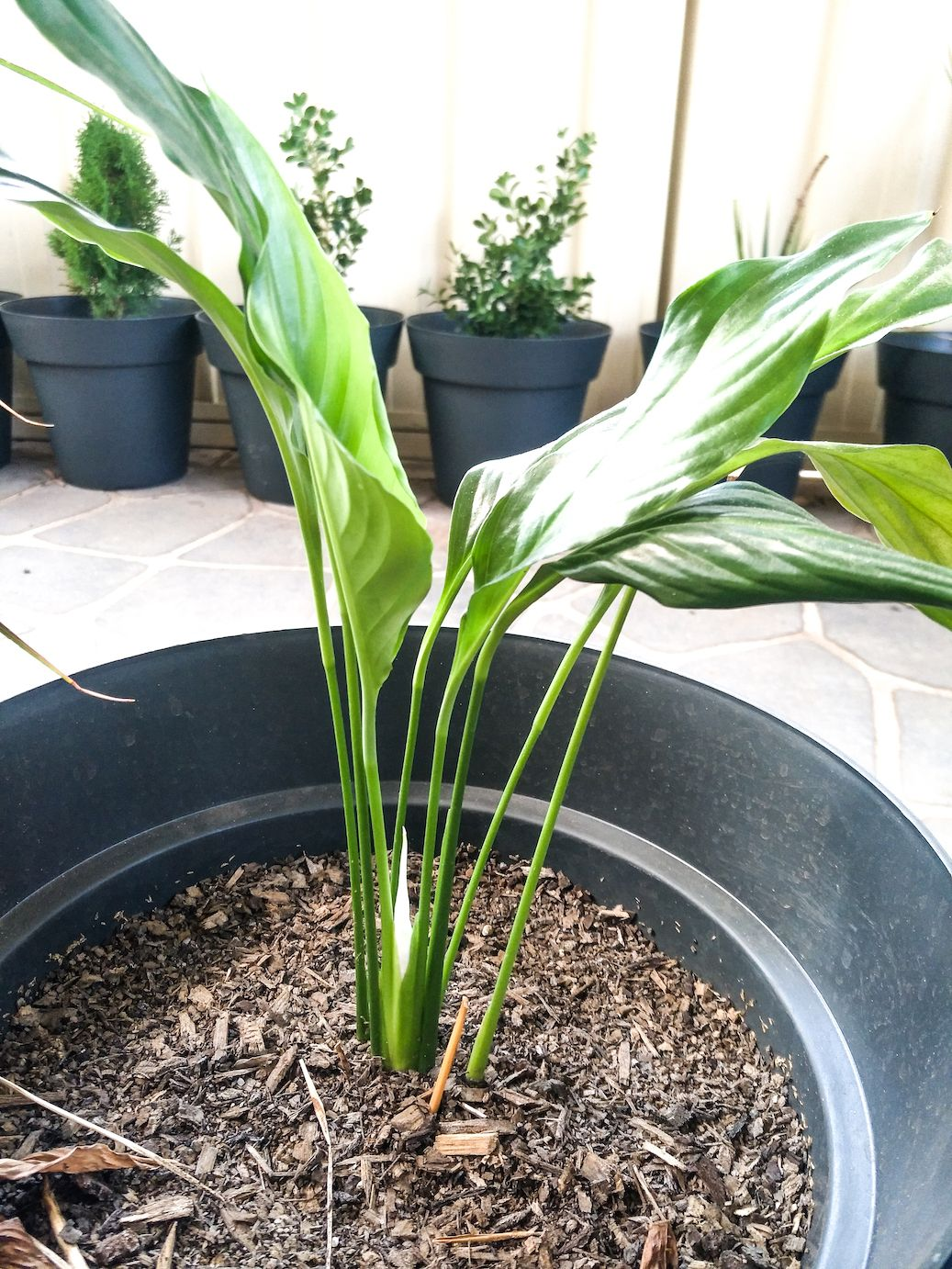 Easy Ways To Grow House Plants From Cuttings Garden Lily Plants Peace Lily Plant Plants