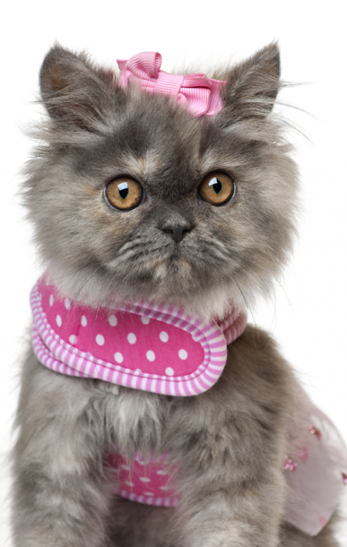 Pin By Andrea King On 0 Cat Costumes Kittens Cutest Cats And Kittens Cat Furry